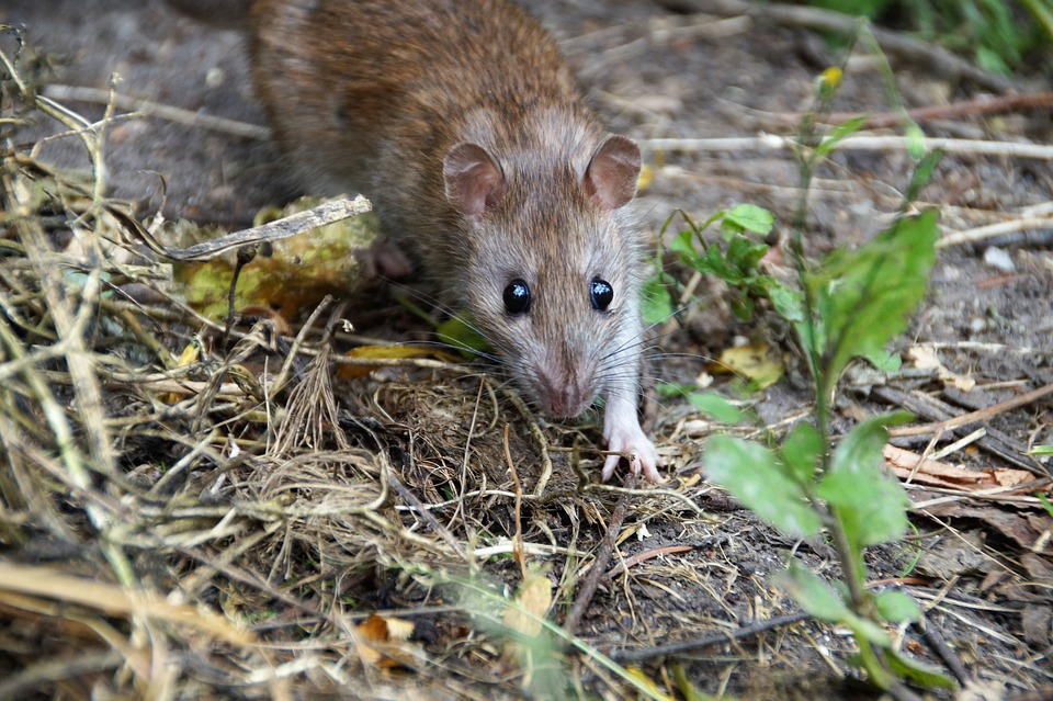 potkan v přírodě